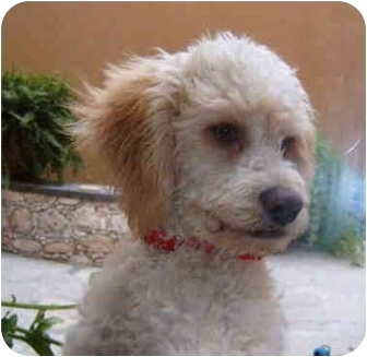 Poodle (Miniature) Mix Dog for adoption in Albuquerque, New Mexico - Scooby