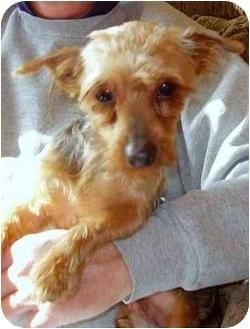 Yorkie, Yorkshire Terrier Dog for adoption in Greensboro, North Carolina - George