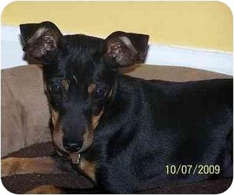 Miniature Pinscher Dog for adoption in Nashville, Tennessee - Missy