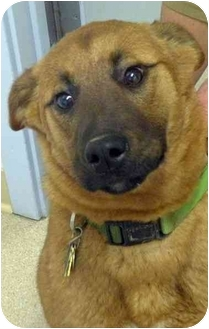 German Shepherd Dog/Labrador Retriever Mix Puppy for adoption in Fort Bragg, California - Ruby
