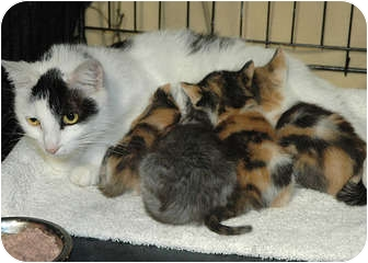 American Shorthair Cat for adoption in Ripley, Tennessee - Mama & Babies