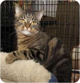 Domestic Shorthair Cat for adoption in Merrifield, Virginia - Toni Ann