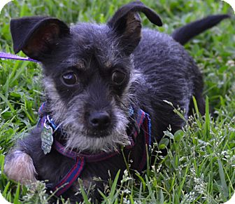 Terrier (Unknown Type, Small)/Chihuahua Mix Dog for adoption in Simi Valley, California - Woody