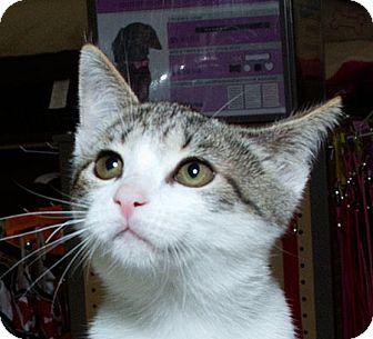 Domestic Shorthair Cat for adoption in Sacramento, California - Vienna N
