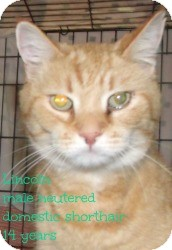Domestic Shorthair Cat for adoption in Muskegon, Michigan - Lincoln