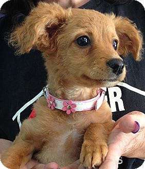 Maltese/Chihuahua Mix Puppy for adoption in Thousand Oaks, California - Patti
