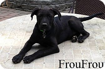 Labrador Retriever Mix Puppy for adoption in New Jersey, New Jersey - Columbus, NJ - FrouFrou