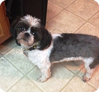Shih Tzu Mix Dog for adoption in Beavercreek, Ohio - OREO