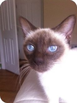 Siamese Cat for adoption in Columbia, South Carolina - Gladys