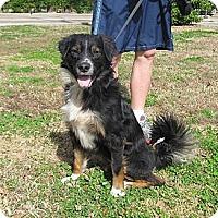 Adopt A Pet :: Tosh - Kingwood, TX