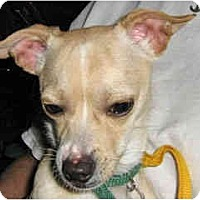 Adopt A Pet :: Scotty - Scottsdale, AZ
