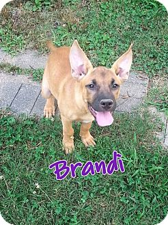 Shepherd (Unknown Type)/Mountain Cur Mix Puppy for adoption in East Hartford, Connecticut - Brandi ADOPTION PENDING