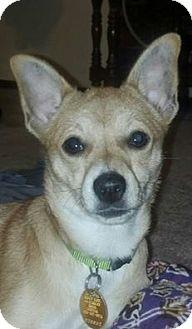 Basenji/Chihuahua Mix Puppy for adoption in Covington, Washington - Holly