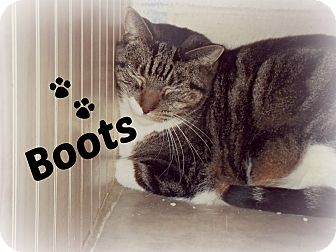 Domestic Shorthair Cat for adoption in Defiance, Ohio - Boots