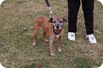 Feist Mix Dog for adoption in North Judson, Indiana - Bali