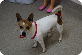 Jack Russell Terrier/Chihuahua Mix Dog for adoption in Bucyrus, Ohio - Wishbone