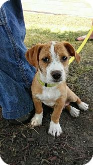 Terrier (Unknown Type, Small)/Beagle Mix Puppy for adoption in Sugar Grove, Illinois - Hercules