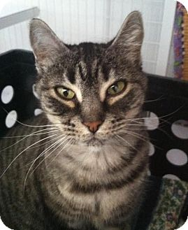 Domestic Shorthair Cat for adoption in Gunnison, Colorado - Lindy