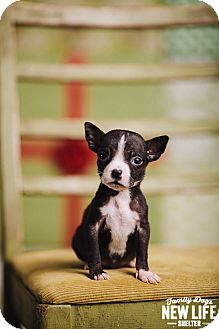 Boston Terrier/Pit Bull Terrier Mix Puppy for adoption in Portland, Oregon - Butterfly
