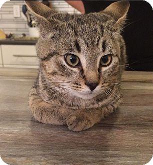 Domestic Shorthair Cat for adoption in Edmonton, Alberta - Manny