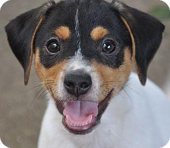 Jack Russell Terrier Mix Puppy for adoption in Harrisonburg, Virginia - Nemo