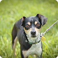 Adopt A Pet :: HANDSOME Boy Toy - Davie, FL