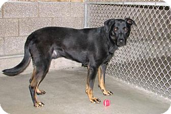 Labrador Retriever/Doberman Pinscher Mix Dog for adoption in Ruidoso, New Mexico - Snoop