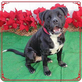 Labrador Retriever Mix Dog for adoption in Marietta, Georgia - BRONX see video!
