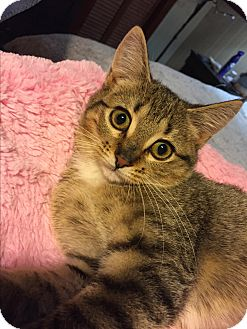 Domestic Shorthair Kitten for adoption in Simpsonville, South Carolina - Skittles