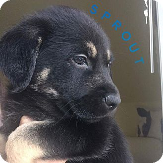 Labrador Retriever Mix Puppy for adoption in Pitt Meadows, British Columbia - Sprout