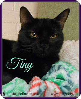 Domestic Shorthair Cat for adoption in Gonic, New Hampshire - Tiny