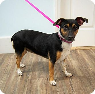 Jack Russell Terrier/Feist Mix Dog for adoption in Scranton, Pennsylvania - Jackie