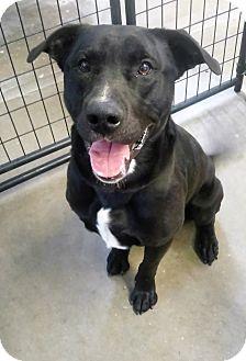 Labrador Retriever/Staffordshire Bull Terrier Mix Dog for adoption in Sauk Rapids, Minnesota - Davy