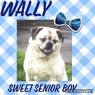 Pug/Jack Russell Terrier Mix Dog for adoption in Parker Ford, Pennsylvania - Wally