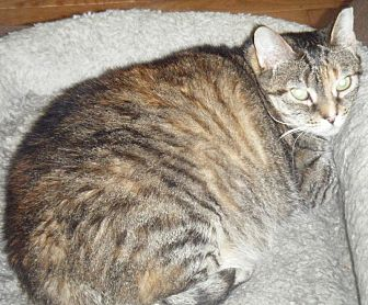 Domestic Shorthair Cat for adoption in Kensington, Maryland - Gray