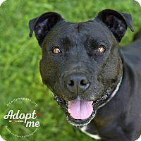 American Pit Bull Terrier Mix Dog for adoption in Lyons, New York - Hazel