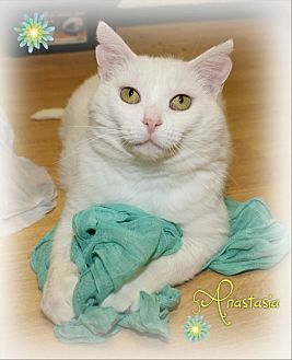 Domestic Shorthair Cat for adoption in Shippenville, Pennsylvania - Anastasia