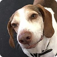 Adopt A Pet :: SNOOPER - Albany, NY