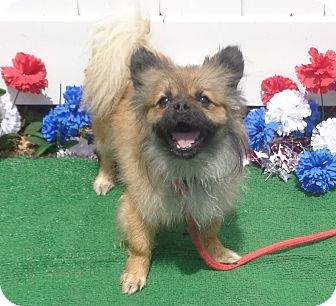 Pomeranian Mix Dog for adoption in Marietta, Georgia - FRITZ see also FELLA