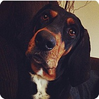 Black and Tan Coonhound Mix Dog for adoption in Crofton, Maryland - Daisy