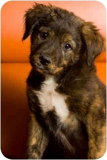 Australian Shepherd/Boxer Mix Puppy for adoption in Portland, Oregon - Rocco
