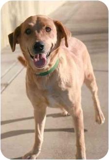 Labrador Retriever Mix Dog for adoption in Phoenix, Oregon - Comet
