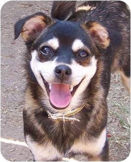 Chihuahua/Poodle (Miniature) Mix Dog for adoption in El Segundo, California - Brooke