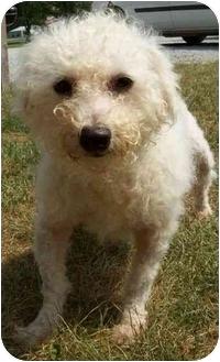 Bichon Frise Dog for adoption in North Judson, Indiana - Levi