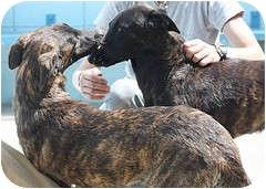 Dutch Shepherd Puppy for adoption in Berkeley, California - Allegra