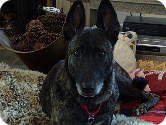 Dutch Shepherd Dog for adoption in Jamestown, California - Freya in IL