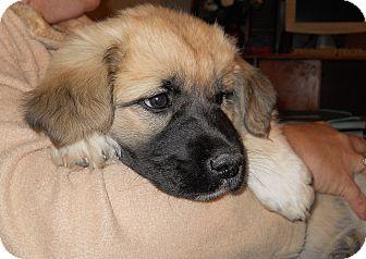 German Shepherd Dog Mix Puppy for adoption in springtown, Texas - Blossom