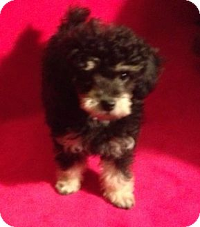 Poodle (Miniature) Mix Puppy for adoption in Hainesville, Illinois - Molly