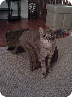 Domestic Shorthair Cat for adoption in Huntington Station, New York - ANGELIQUE