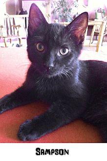 Domestic Shorthair Cat for adoption in Reston, Virginia - Sampson